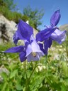 Ancolie alpine