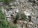 Anemone du mont Baldo