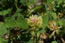 Astragale à feuilles de réglisse