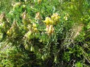 Astragale à fleurs pendantes