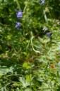 Campanule à feuilles de losange
