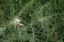 Centaurée chausse-trape