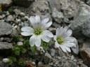 Céraiste à une fleur