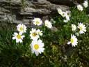 Chrysanthème des Alpes