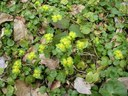 Dorine à feuilles alternes
