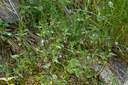 Epilobe à feuilles d'alsine