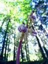 Epipogon sans feuilles