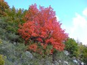 Erable à feuilles d'obier