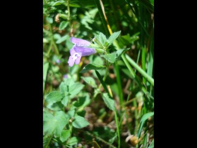 Galéopsis ladanum