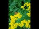 Hugueninie à feuilles de tanaisie
