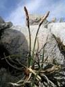 Laîche des rochers