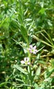 Lythrum à feuilles d'hysope