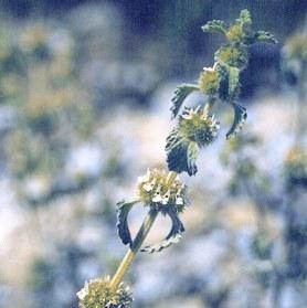Marrube blanc