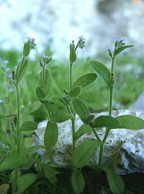 Myosotis à petites fleurs