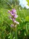 Orchis de Fusch
