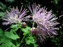 Pigamon à feuilles d'ancolie