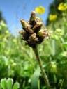 Plantain noirâtre