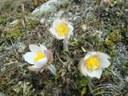 Pulsatille du printemps