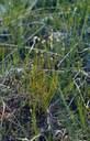 Rhynchospore blanc