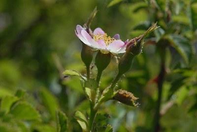 Rosier à petites fleurs