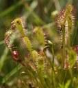 Rossolis à feuilles longues