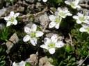 Sabine à deux fleurs
