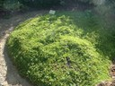 Saule à feuilles de serpolet