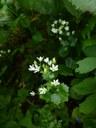 Saxifrage à feuilles rondes