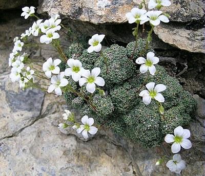 Saxifrage bleuâtre