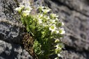 Saxifrage fausse mousse
