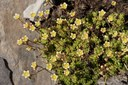 Saxifrage sillonnée