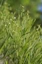 Thésium à feuilles de lin