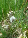 Trichophore des Alpes