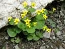 Violette à deux fleurs